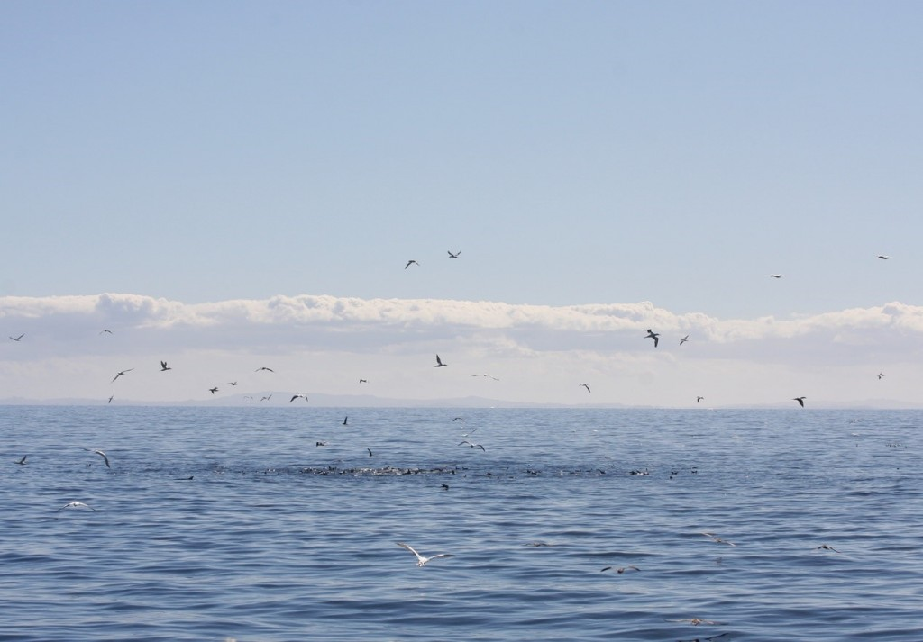 Australisian Gannets and shearwaters foraging on a bait ball in the Hauraki Gulf. Photo by Olivia Hamilton.