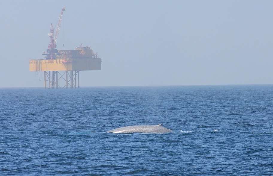 Figure 2. A blue whale surfaces in front of an oil rig in the South Taranaki Bight, New Zealand. Photo by Deanna Elvines.