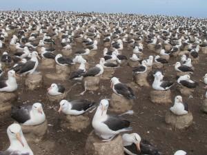 Black-browed albatrosses, Steeple Jason, Falkland Islands.