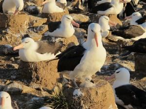 Black-browed albatross on mud pedestal nest.