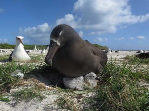 Black-footed albatross and chick, Midway Atoll.
