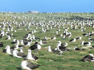 A field of Laysan albatrosses, Midway Atoll.