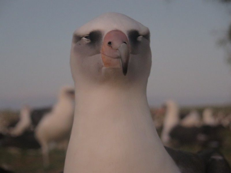 Laysan albatross at dusk