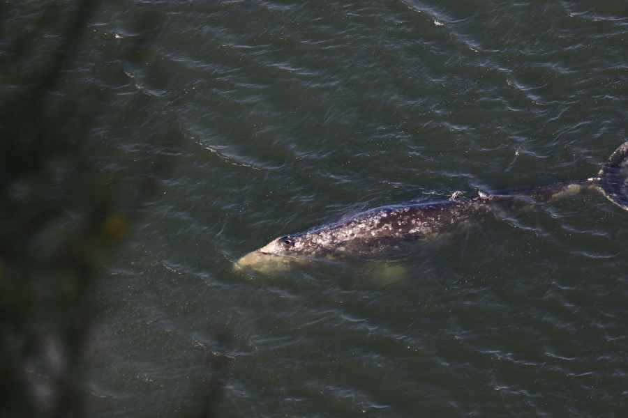 Figure 4. Gray whale swimming in Tichenor Cove taken by fellow intern Cathryn Wood.