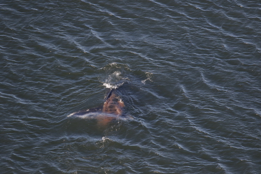 Figure 3. Gray whale defecating as it dives into the water in Tichenor Cove.