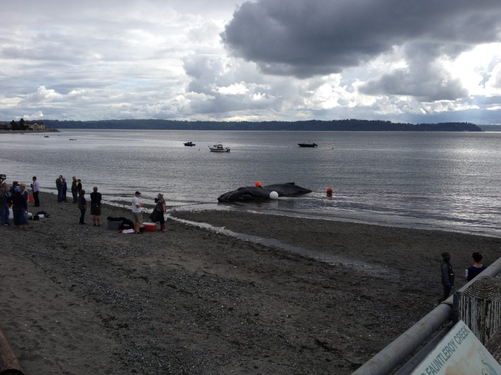 Humpback whale stranded at Fauntleroy Ferry Terminal, West Seattle. photo credit: Sarah Wiesner