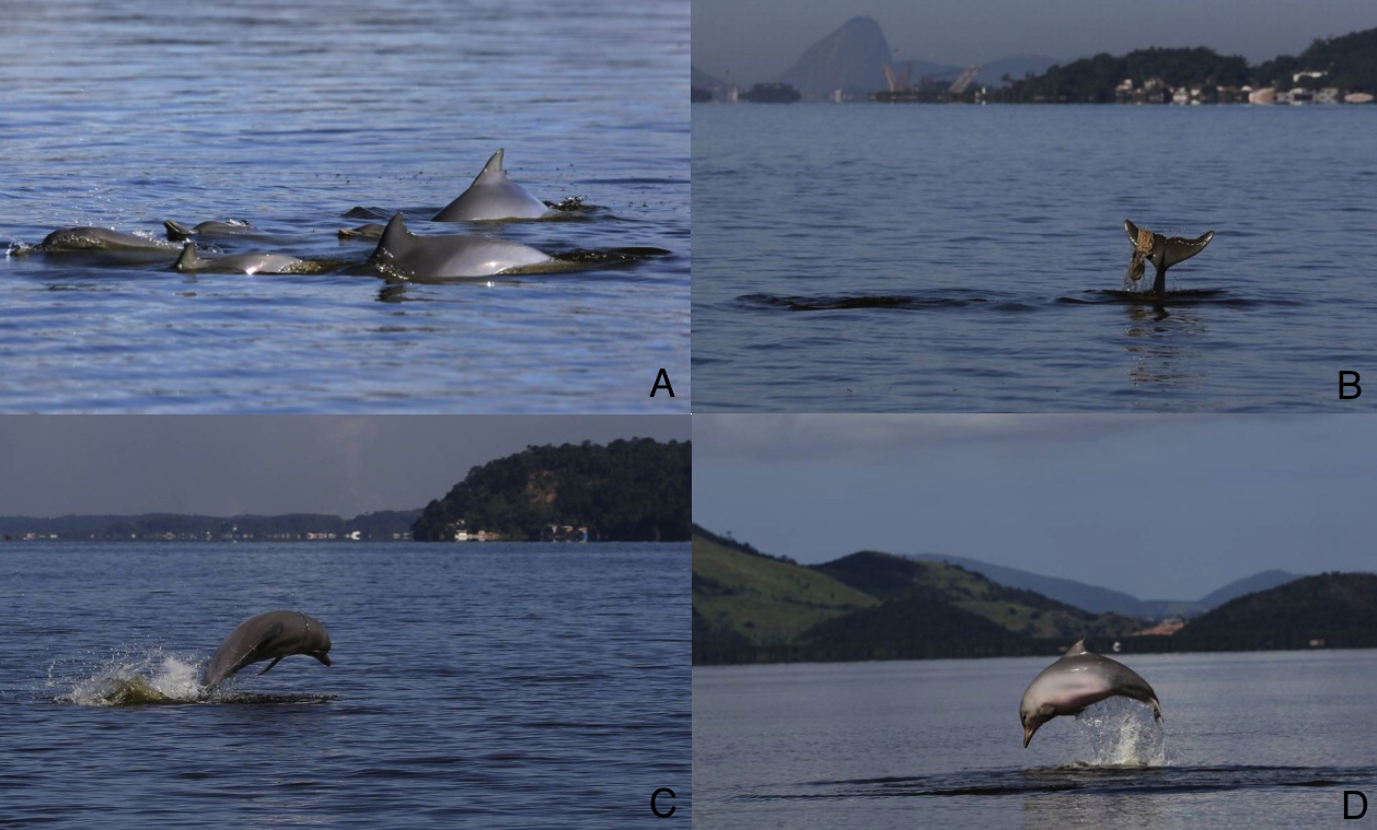 Figure 3: Guiana dolphins in Guanabara Bay, Rio de Janeiro. A: some of the remaining individuals of Guiana dolphin population from the Guanabara Bay; B: a dolphin plays with a plastic bag; C: a dolphin that suffered an accident with a nylon yarn when young presents a scar across its whole circumference; D: a dolphin exhibit the absence of the pectoral fin. Source: O Globo, 2015 (http://oglobo.globo.com/rio/populacao-de-golfinhos-da-baia-de-guanabara-sofre-reducao-de-90-em-tres-decadas-1-16110633).