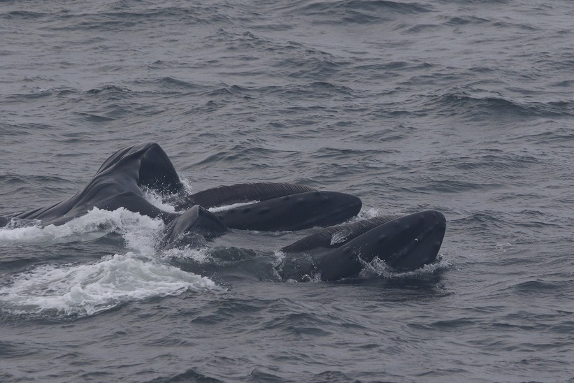 Humpbacks lunge feeding at surface. photo credit: Leigh Torres. Taken under NMFS permit 16111 John Calambokidis.