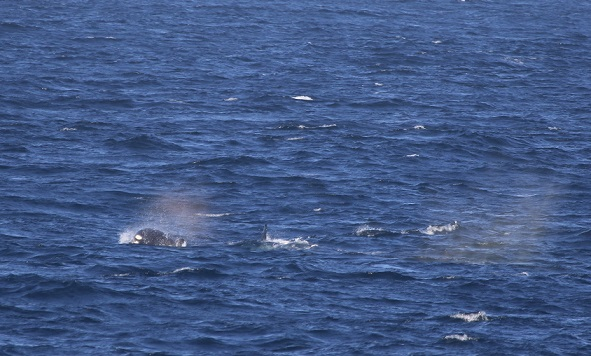 a small pod of Orca. Photo credit: Florence Sullivan. Taken under NMFS permit 16111 John Calambokidis