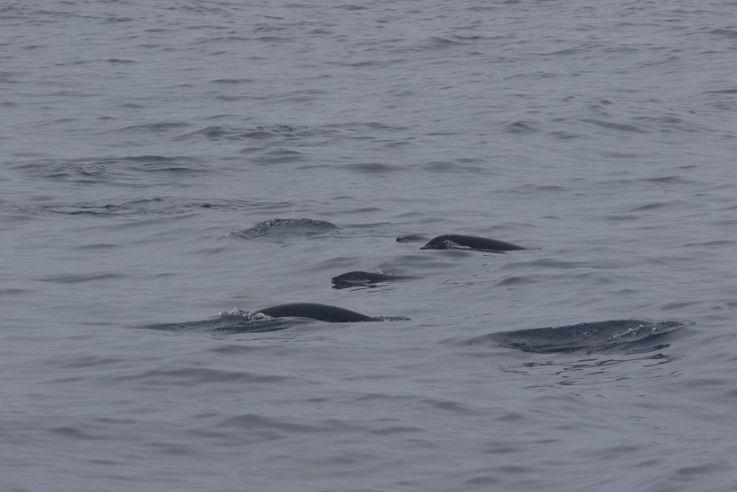 Northern right whale dolphins are hard to spot! photo credit: Florence Sullivan Taken under NMFS permit 16111 John Calambokidis