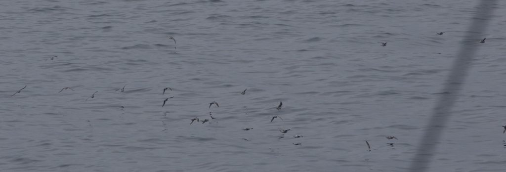 Fork-tailed storm petrels