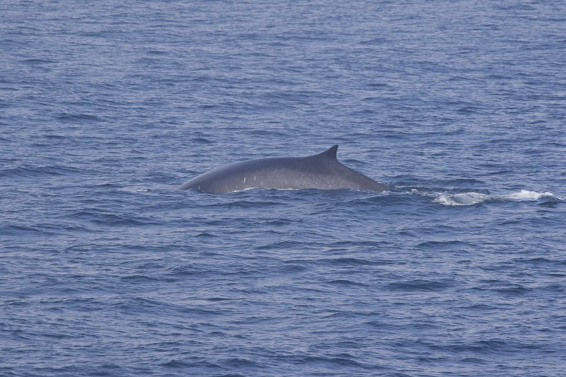 Fin Whale. photo credit Amanda Holdman. Taken under NMFS permit 16111 John Calambokidis.