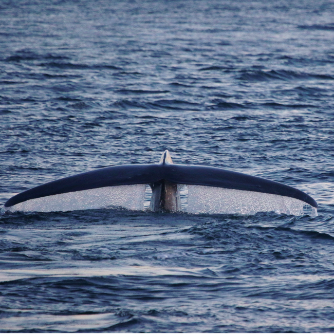 A blue whale dives in the South Taranaki Bight, New Zealand. Photo by Leigh Torres.