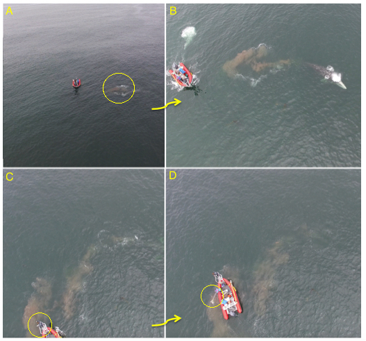 Figure 2: A: the poop is identified; B: the boat approaches the feces that are floating at the surface (~30 seconds); C: one of the team members remains at the bow of the boat to indicate where the feces are; D: another team member collects it with a fine-mesh net. Filmed under NOAA/NMFS permit #16111 to John Calambokidis).