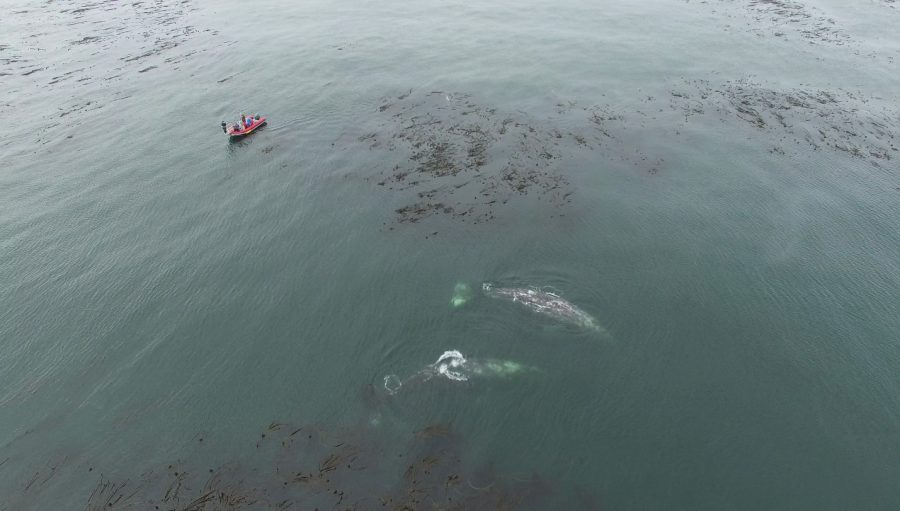 The overhead drone captures a pair of gray whales surfacing between kelp beds off Cape Blanco, Oregon, with the research vessel nearby. Take under NOAA/NMFS permit #16111 given to John Calambokidis.