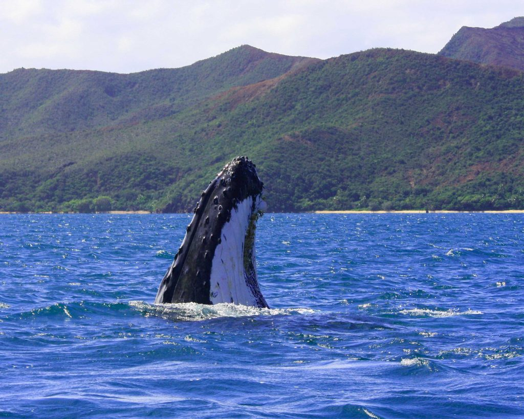 A humpback whale in New Caledonia's South Lagoon.