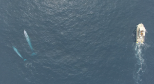 Aerial image of the research vessel and a pair of blue whales during the 2016 New Zealand survey.