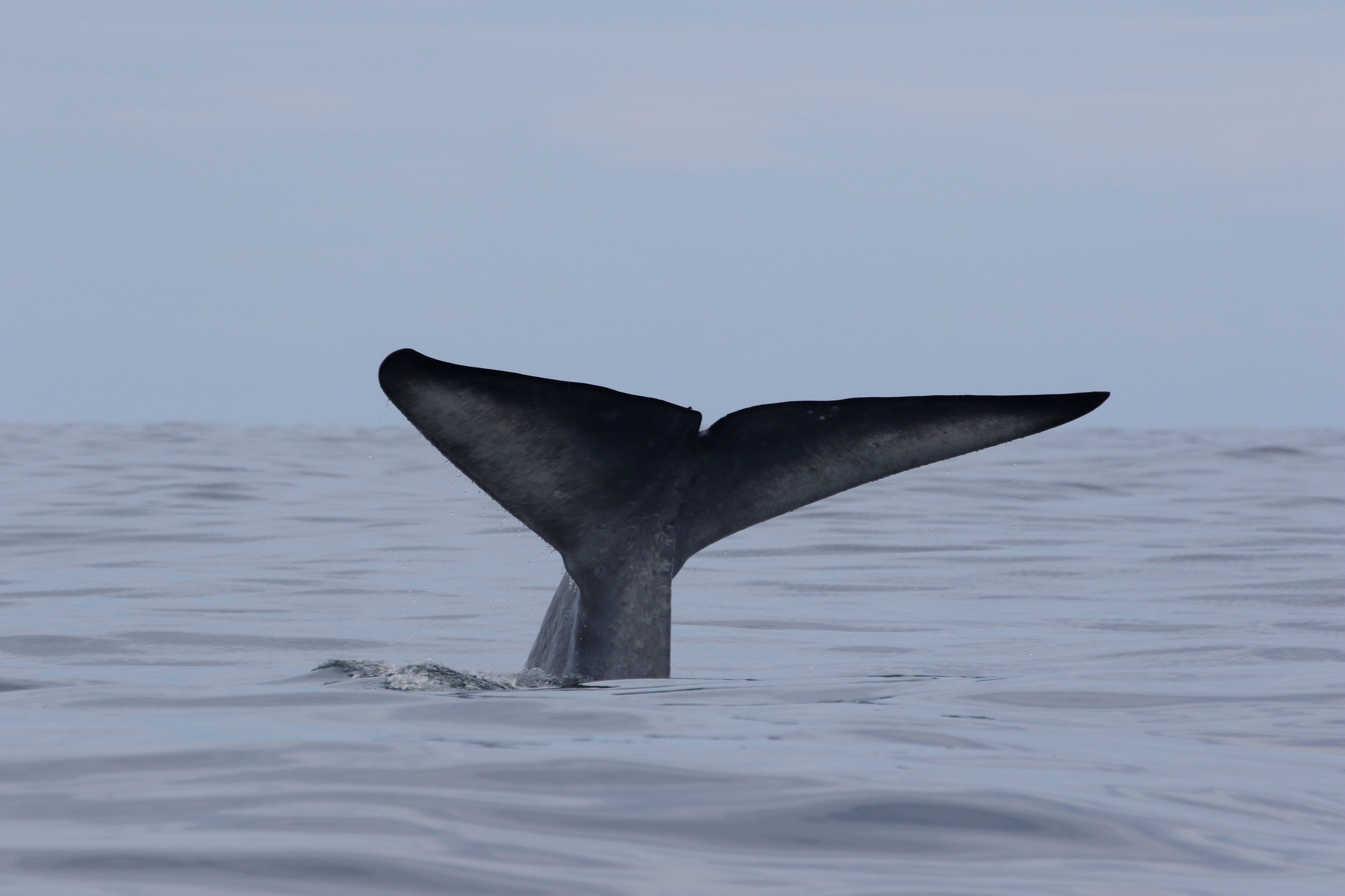 new zealand blue whales archives geospatial ecology of marine
