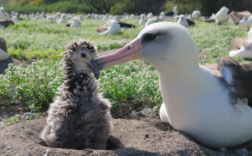 Midway Atoll: the next two weeks at the largest albatross colony in the world (two years later)