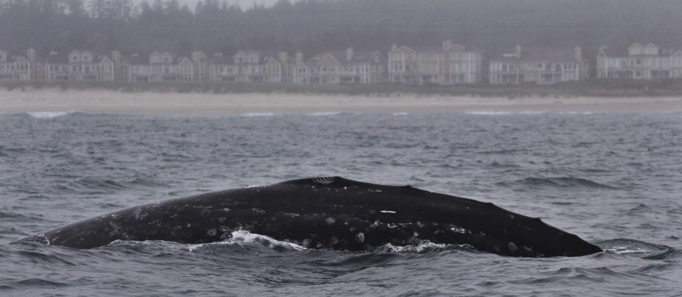 """4918b3edd0 Their propensity for coastal waters and near-shore feeding is part of what  makes gray whales so unique and arguably """"easier"""" to study than some other  baleen ..."""