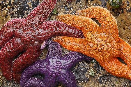 Marine Biologist discovers starfish baby boom