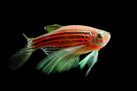 Curing human deafness with the help of zebrafish
