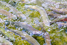 Steelhead's repeat spawning aids fitness and survival