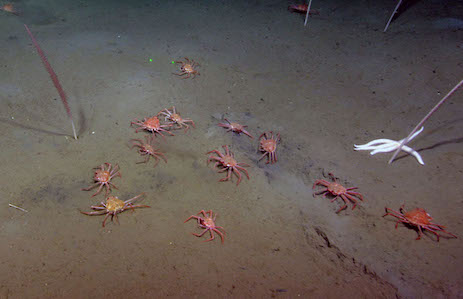 Scientists find tanner crabs feeding vigorously at methane seeps