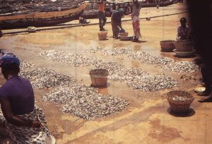 Traditionally haplochromines were harvested and dried as a food source for indigenous peoples Most of these practices were outlawed in 1908 Most subsistence fishing on Lake Victoria today is illegal