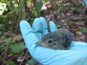 Flycatcher chick after being sampled and measured.