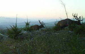 Mature Roosevelt elk bulls browsing through a plantation with exclosure in the background