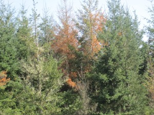 Trees along the Willamette Valley margins showed drought stress early in 2015.