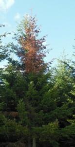 Douglas-fir dieback, western Oregon. Photo: Brad Withrow-Robinson