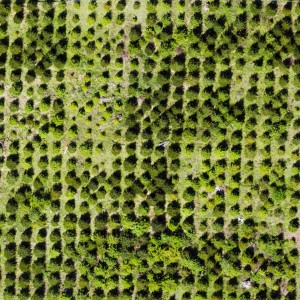 Aerial view of study site showing variation in Douglas-fir performance due to genetic differences related to geographic origin. Photo: Jonathan Burnett, UAS flight under COA WSA-212.