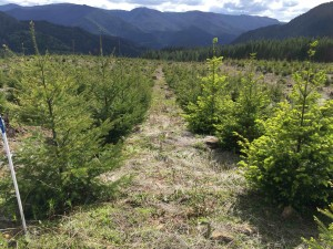 Genetic variation in timing of budbust on Douglas-fir from different geo climatic zones. Photo: Brad St. Clair