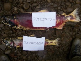 Coho salmon carcasses with their PIT tag identification numbers