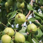 pears-870445_1920