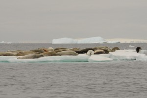 Raft of Crabeater Seals