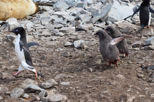 Two hungry Adelie chicks chasing a parent for a potential meal