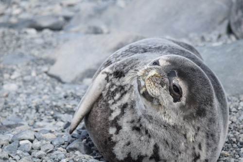 A Weddell seal on Avian Island