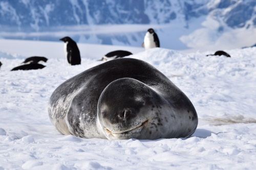 A leopard seal napping on an ice floe