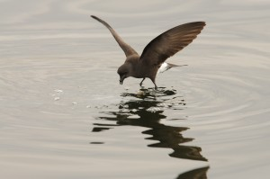 Wilson's storm petrel looking for lunch