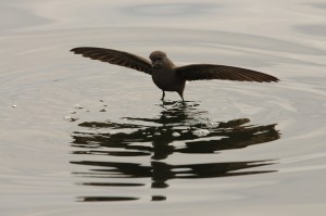Wilson's storm petrel spreading its wings for balance on water