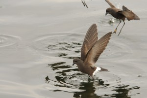 Wilson's storm petrel dancing on water's surface