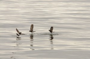 Wilson's storm petrels dancing on water