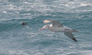 Presumed Wandering Albatross