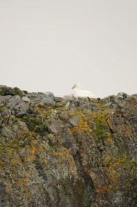 White morph giant petrel