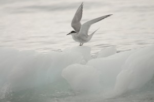 Antarctic tern sitting on ice near biscoe bay