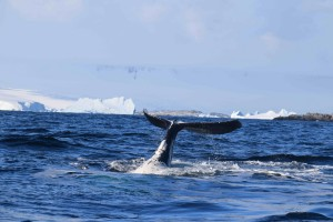 Humpback whale laying on back thrashing fluke. You can see the belly!