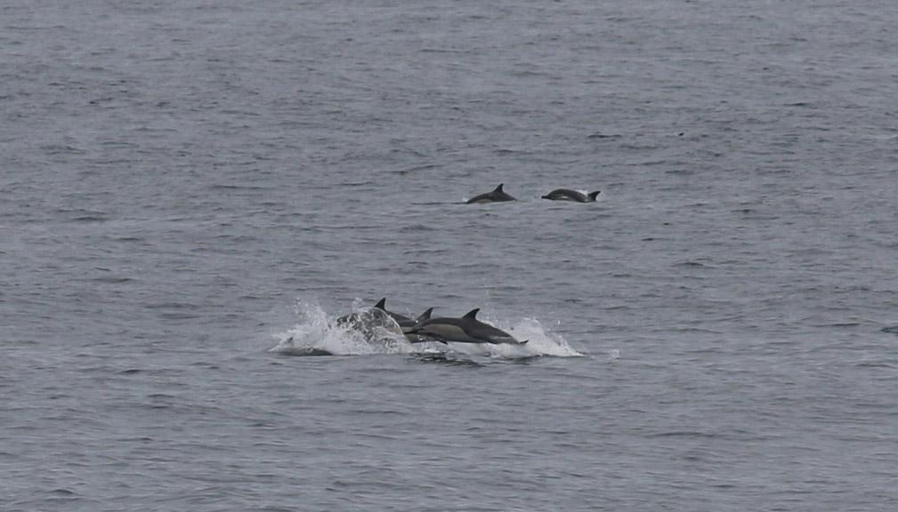 commonshort-beakeddolphins-1